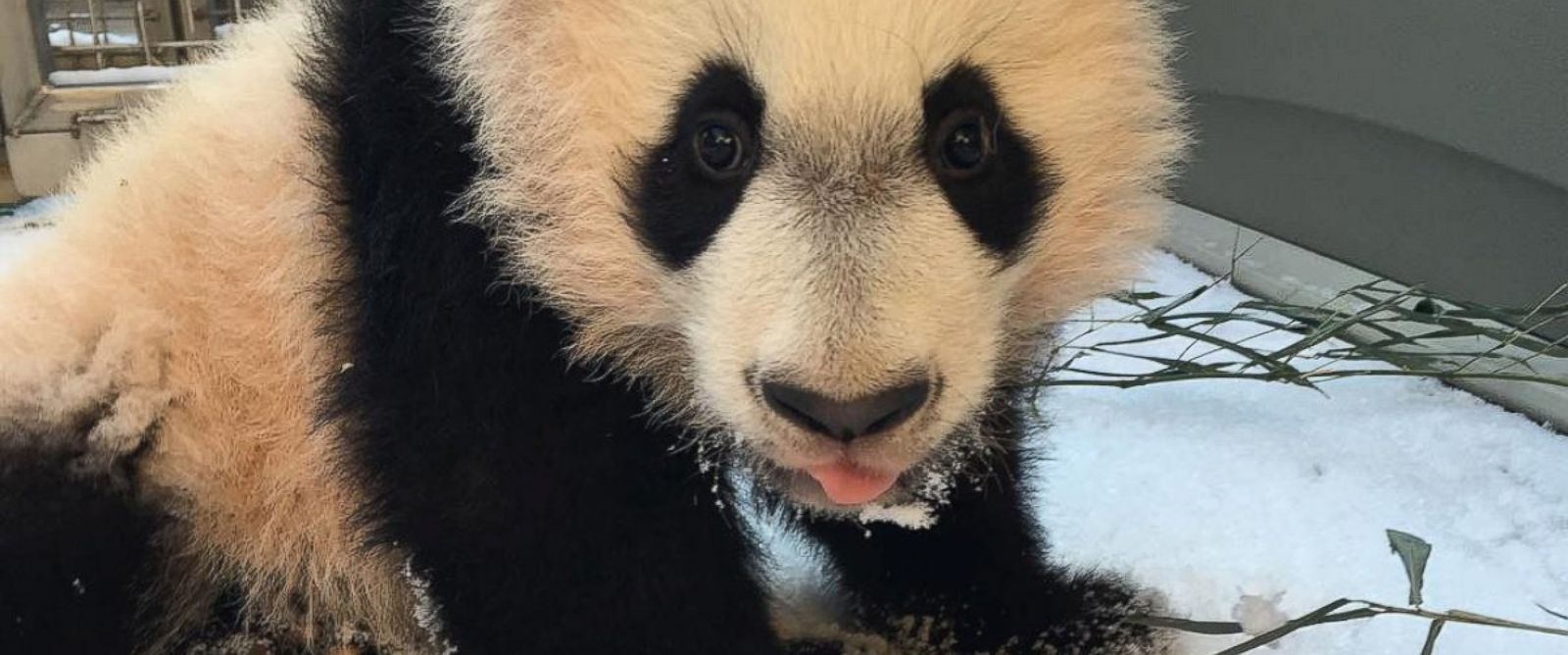 """PHOTO: The Smithsonian Zoo posted this photo on Instagram with the caption, """"BeiBei had his first introduction to snow today! He wasnt quite sure what to make of the powdery snow and made his way back inside quickly,"""" on Jan. 21, 2016 in Washington."""
