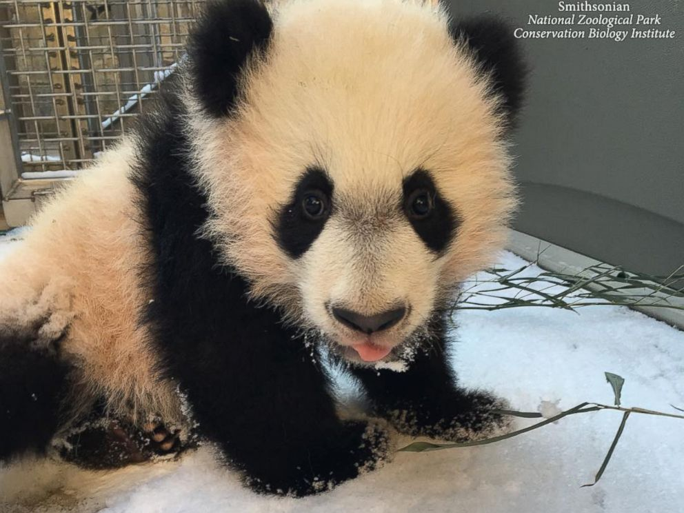 PHOTO: The Smithsonian Zoo posted this photo on Instagram with the caption, BeiBei had his first introduction to snow today! He wasnt quite sure what to make of the powdery snow and made his way back inside quickly, on Jan. 21, 2016 in Washington.