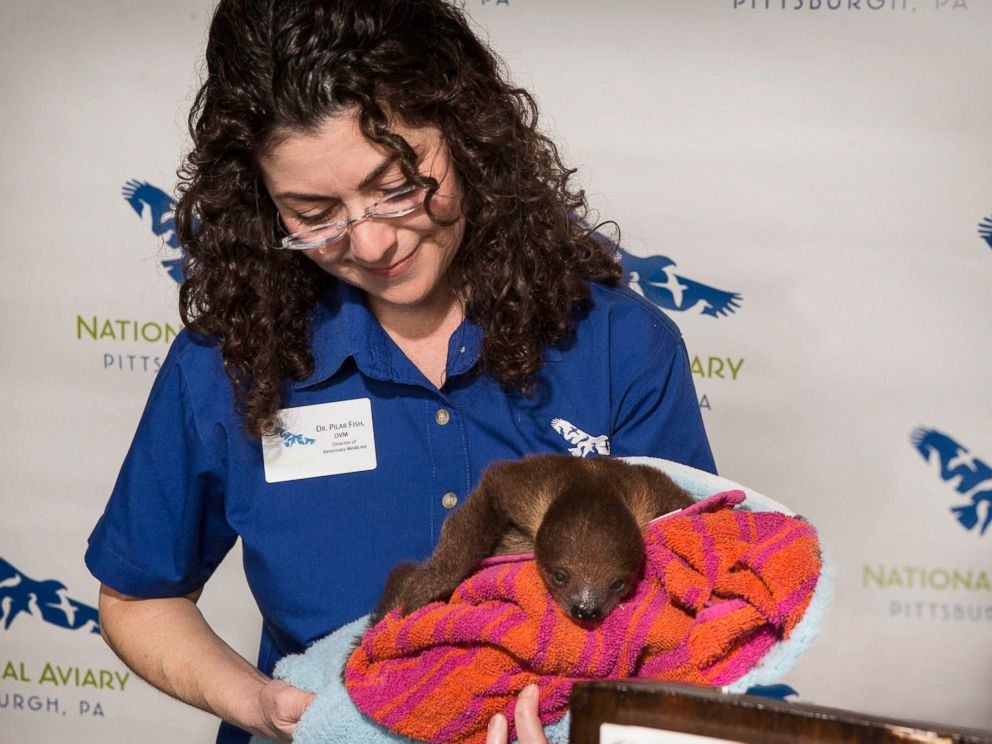 PHOTO:A baby sloth was flown on a private jet from Florida on Feb. 8, 2016 to his new home at the National Aviary in Pittsburgh.