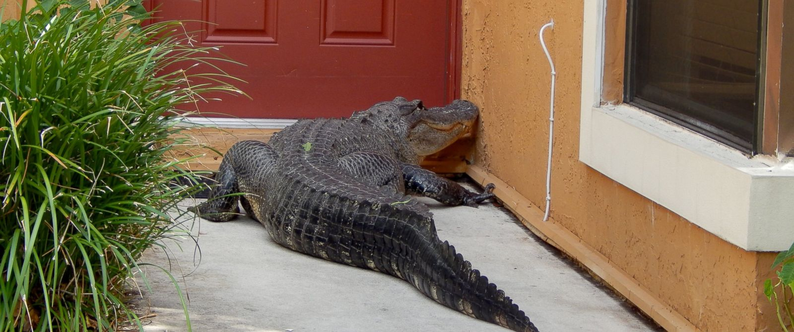 Miami Man And Dog Find Giant Alligator On Front Doorstep