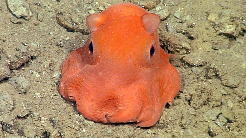 Octopus Looks Like Cross Between Pokemon Character and Pac-Man ...