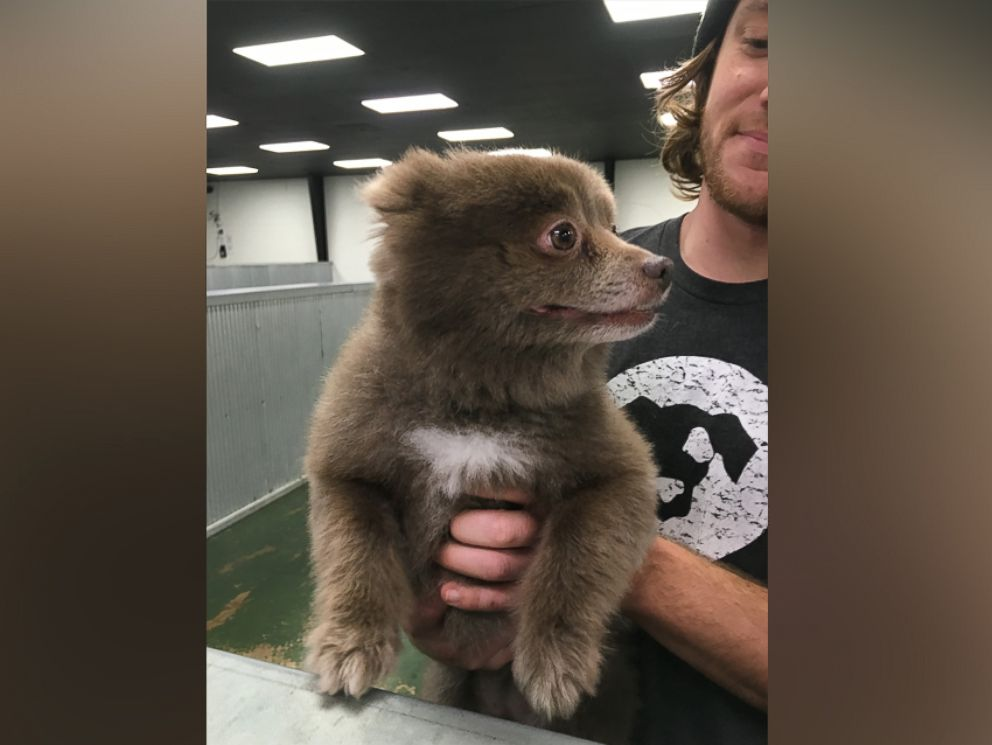 PHOTO: Bounce, a Pomerian-mix dog, has taken the Internet by storm after a photo of her was posted to Reddit with the caption, Somebody brought this bear into doggie day care on Dec. 29, 2015.
