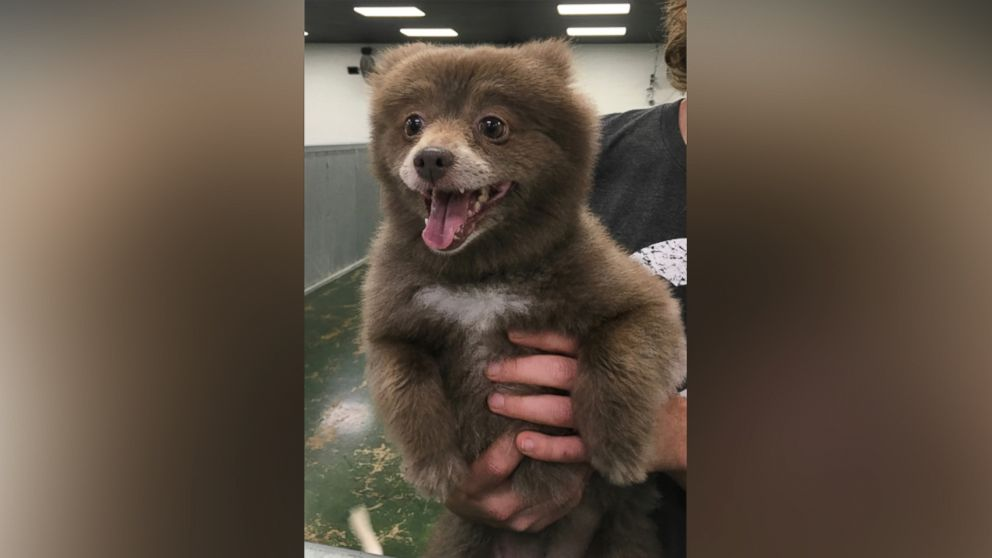 the mystery of this adorable bear dog has been solved
