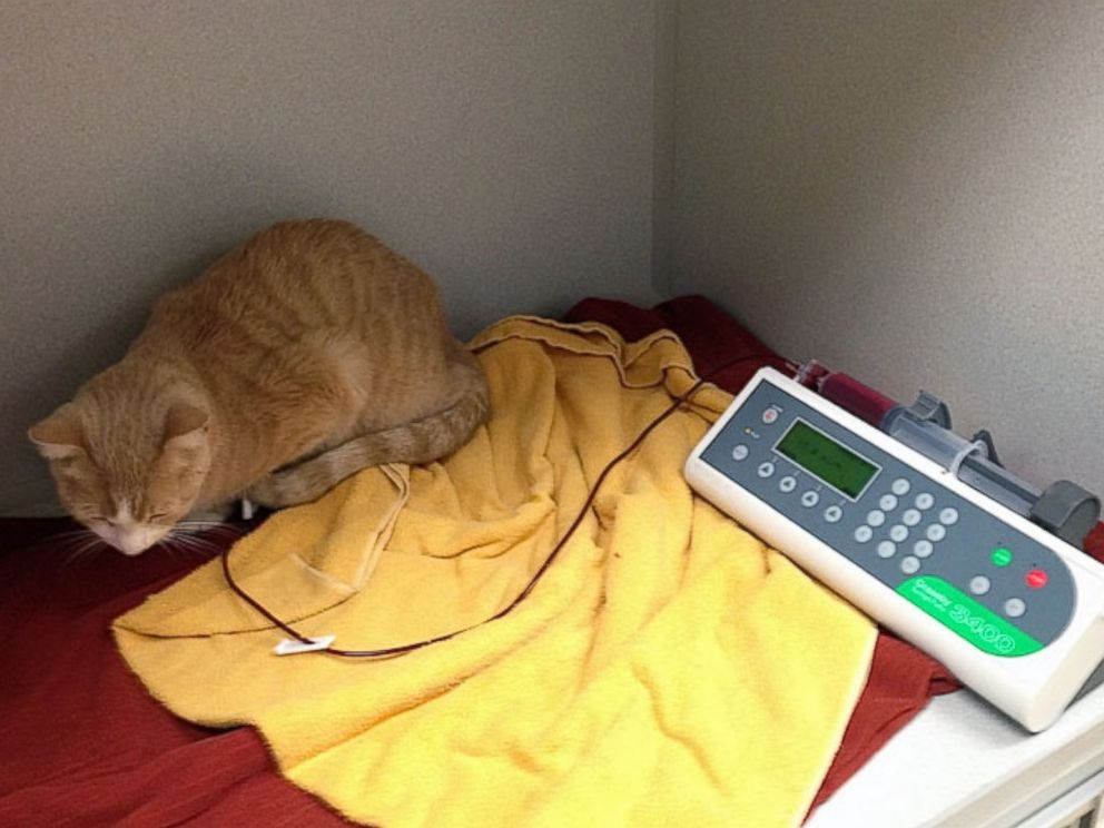 PHOTO: Buttercup is seen in his cage receiving his blood transfusion.