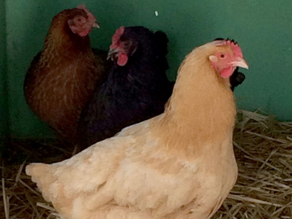 PHOTO: These chickens, left at the Oregon Department of Revenue office, were rescued by the Eugene police, an animal welfare officer and the Greenhill Humane Society.