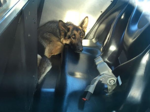 PHOTO: A German Shepherd was rescued from a median on Highway 99 in Galt, Calif., May 14, 2016, over five weeks after someone reported seeing it fall off a pickup truck, according to the Galt Police Department.