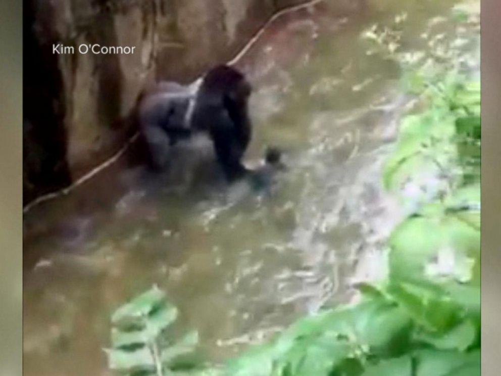 Gorilla killed at Cincinnati zoo had been
