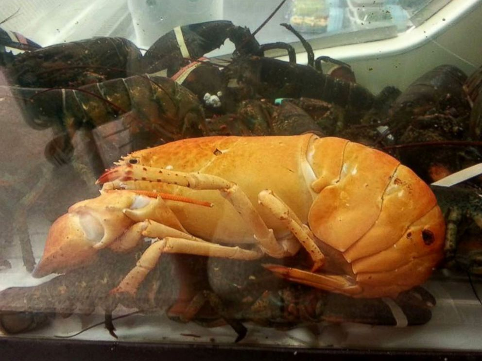 PHOTO: Florida community works together to save a rare Lobster found in Publix.