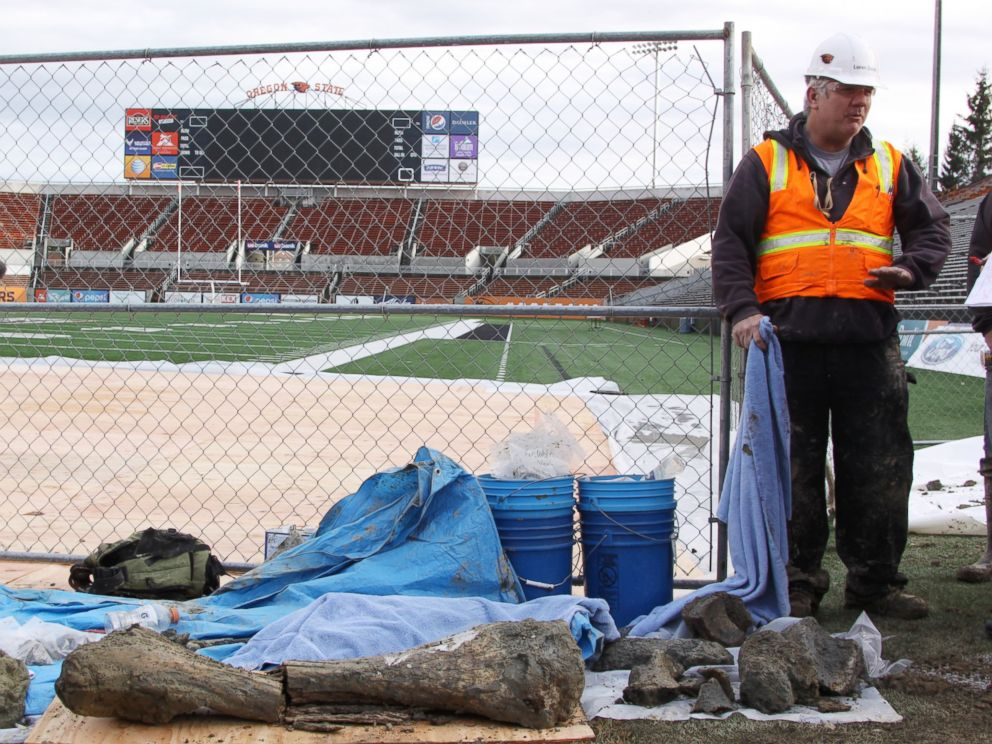 PHOTO: Construction workers discovered ancient bones while working on a project to expand the Oregon State University football stadium. Anthropology professor Loren Davis was called to the site to excavate the bones.