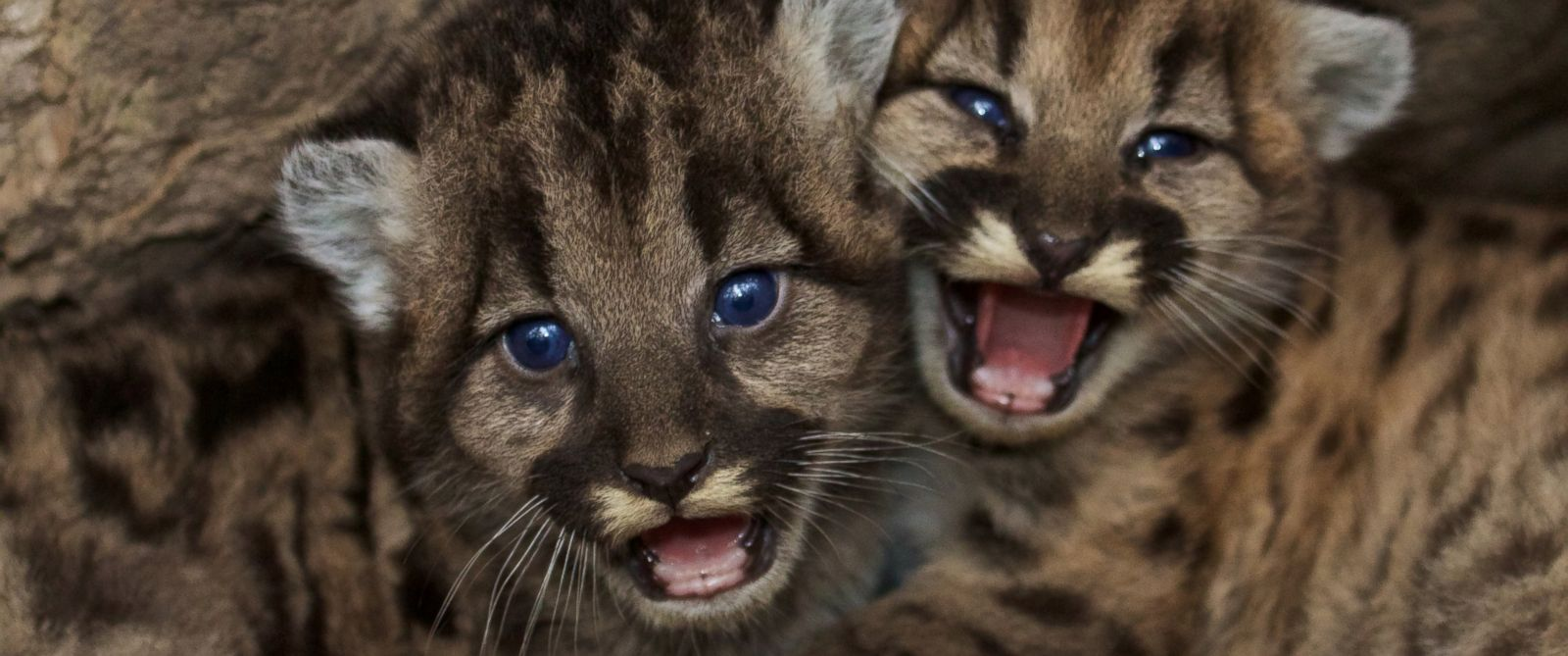 PHOTO: A new litter of mountain lion cubs were born in the Santa Monica Mountains.
