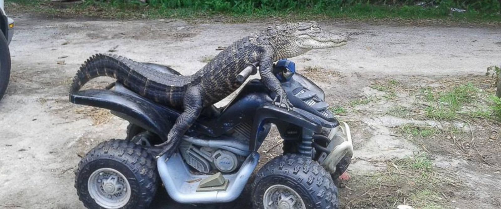 """PHOTO:Mary Thorn of Lakeland, Florida, says her pet alligator Rambo, pictured here, is """"trained"""" and """"not like normal gators."""""""