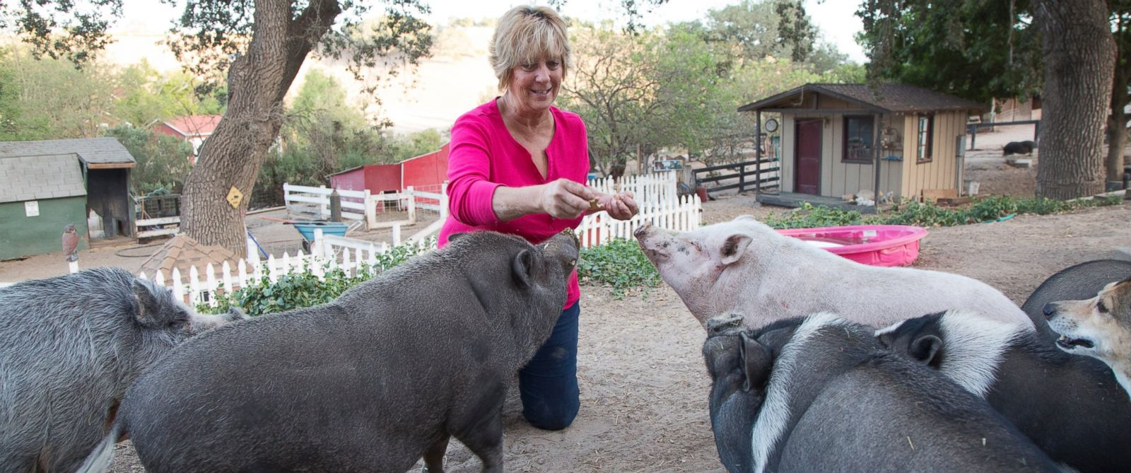 PHOTO: Susan Parkinson feeds her rescue pigs at the Lil Orphan Hammies sanctuary in Solvang, Calif.