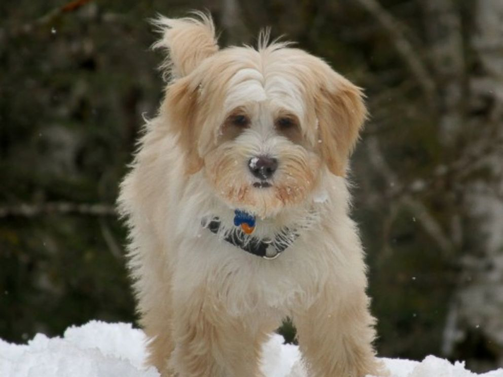 PHOTO: Nyima, a fluffy mutt, is running against a longtime county prosecutor in Washington this month.