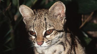 PHOTO: An oncilla (Felis tigrina) in the eastern Amazon forest of Brazil.