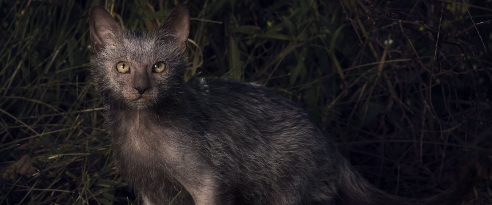 """PHOTO: The Lykoi has earned the nickname """"Werewolf Cat"""" because they look like werewolves and have dog-like personalities."""