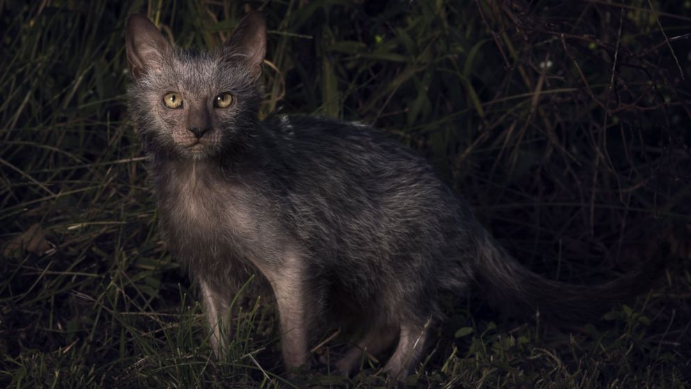 Lykoi Cat For Sale Us
