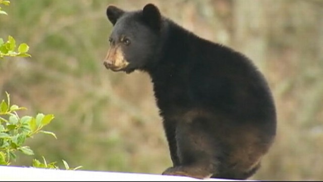 VIDEO: Wild Life Officials continue attempts to move a young bear to safety.