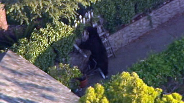 VIDEO: L.A. County sheriffs deputies responded to the black bear sighting in La Crescenta.