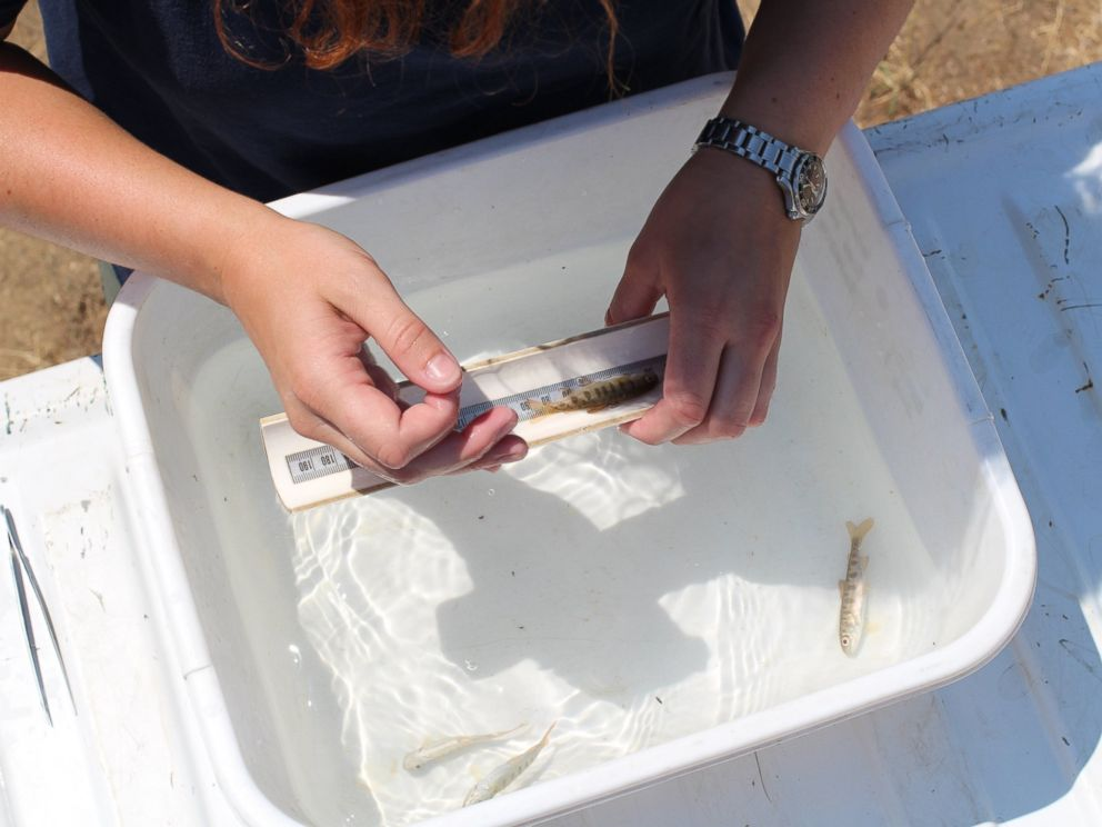 PHOTO: Californias Department of Fish and Wildlife officials measure a baby Coho salmon.