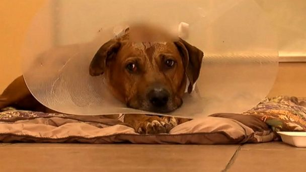 http://a.abcnews.go.com/images/US/abc_dog_survives_gunshot2_wg_151006_16x9_608.jpg
