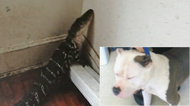 PHOTO: A 4-foot alligator and a pit bull were found abandoned in a New Bedford, Mass. apartment.
