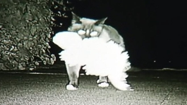 VIDEO: A feline stole over 600 items from his neighbors in the past three years.
