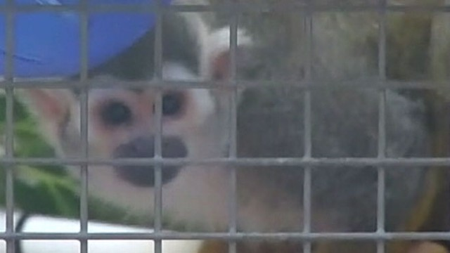 VIDEO: The 17-year-old monkey was returned to the San Francisco zoo on New Years eve.