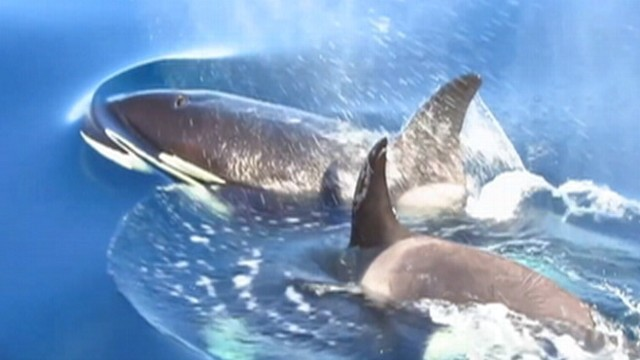 VIDEO: Group of whale watchers glimpse pod of Orcas near Dana Point.