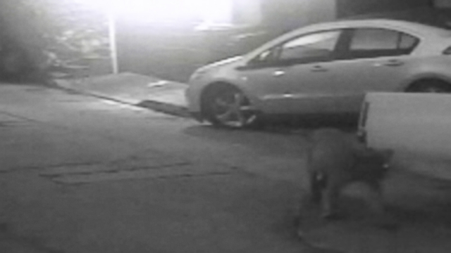 VIDEO: Surveillance video shows the mountain lion walking down a street in the Hollywood Hills.