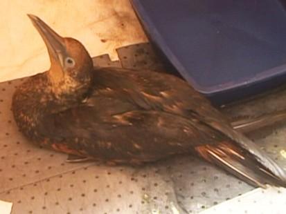 VIDEO: Oily Bird Recovered in Louisiana