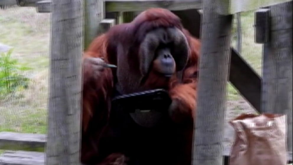 VIDEO: Rudi takes a break from his lunch to paint at the Houston Zoo.