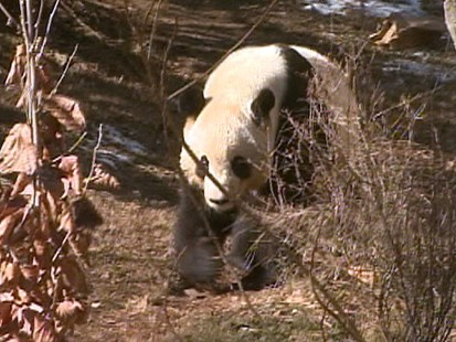 Video: The National zoo in Washington hopes for a new baby panda.