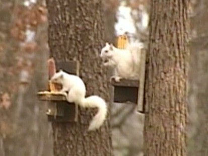 Video: Missouri town claims to have had white squirrels first.