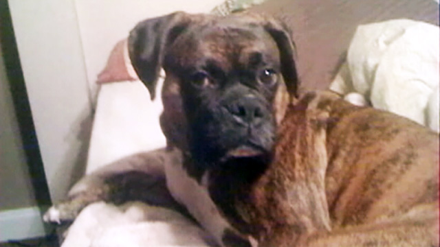 PHOTO: Three-year-old boxer Duncan