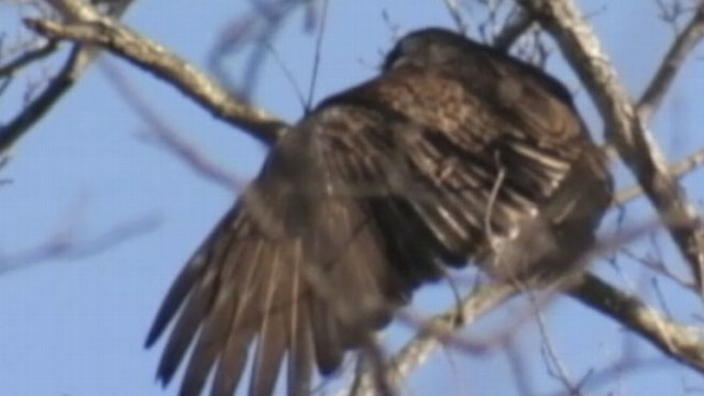 VIDEO: North Carolina residents react to the growing population of hungry birds.