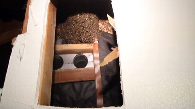 VIDEO: 50,000 Bees in Wall: L.A. Man Documents Removal