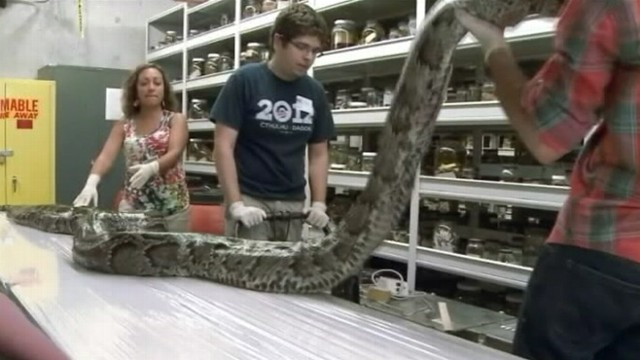Python Foot 17-foot-long Python Caught in