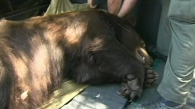"VIDEO: California Black Bear nicknamed ""Glen Bearian"" is returned to the wild."