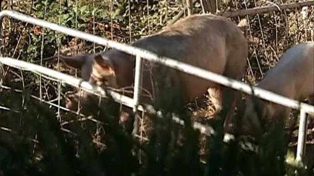 VIDEO: Terry Vance Garner, 69, never returned from feeding his hogs last Wednesday.