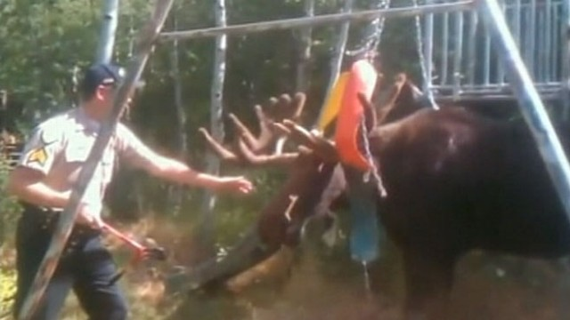 VIDEO: A Utah sheriffs deputy freed the moose that was caught in the chains of a backyard swing set.