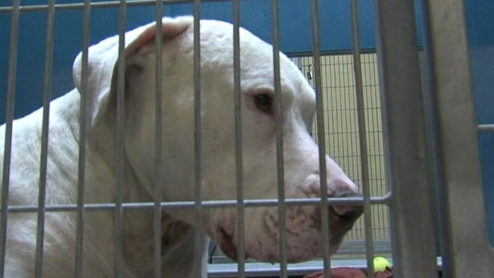 Dog that mauled a 4-year-old boy will live out its days in Sheriff Arpaios MASH unit.