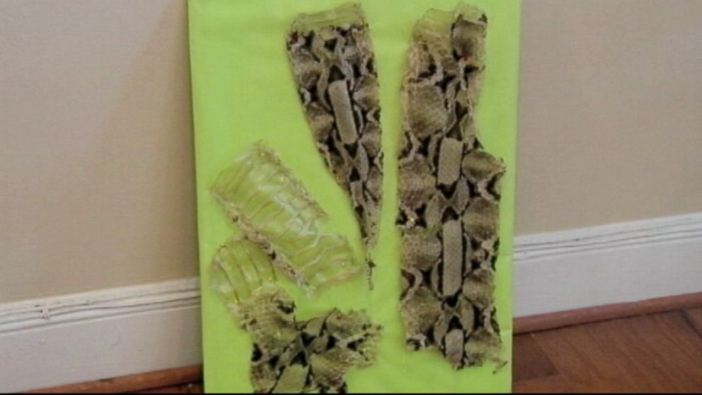 VIDEO: Experts believe a Gaboon viper went loose at an apartment complex in South Carolina.