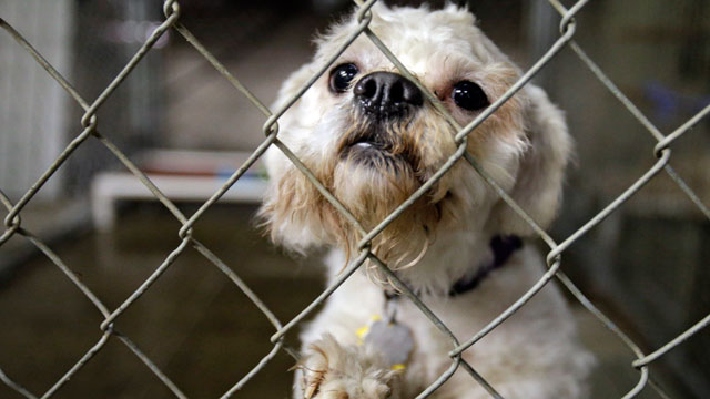 PHOTO: One of three dogs taken from the home of Ariel Castro peers out from its cage at the city kennel in Cleveland, May 21, 2013.