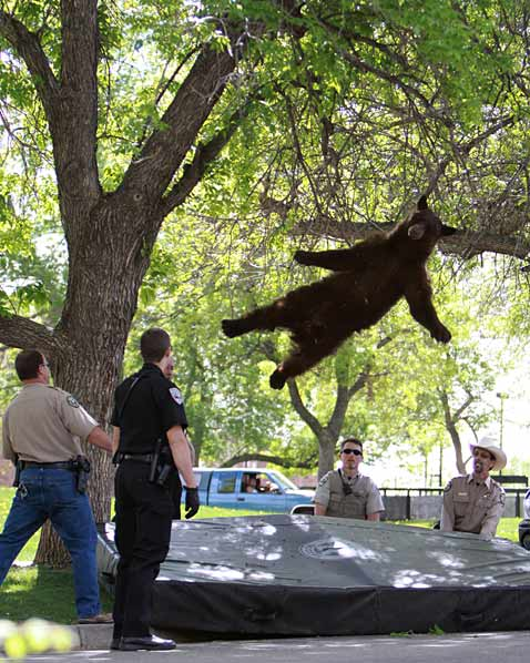 ap colorado tranquilized bear ll 120427 vblog Today in Pictures: Tulips Bloom, Bahrain Protest, Penn Relays
