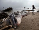 PHOTO: A woman walks her dog past a dead young male fin whale that washed up between the Paradise Cove and Point Dume areas of Malibu, Calif. on Dec. 6, 2012.