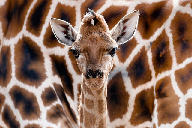 ap germany zoo dm 130419 blog Today in Pictures: Baby Giraffe in Berlin, Party in Egypt, Wedding in Japan