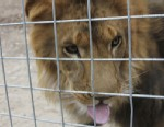 PHOTO:This Oct. 12, 2012 photo released by JP Marketing shows a 4-year-old male African lion named Couscous at Cat Haven, a private wild animal park in Dunlap, Calif.