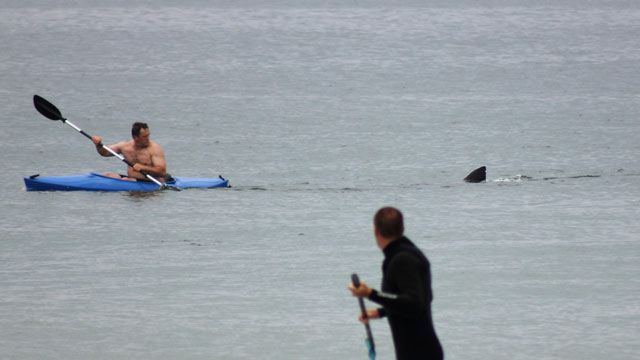 PHOTO: Walter Szulc Jr., in kayak at left, looks back at the dorsal fin of an approaching shark at Nauset Beach in Orleans, Mass. in Cape Cod, July 7, 2012.