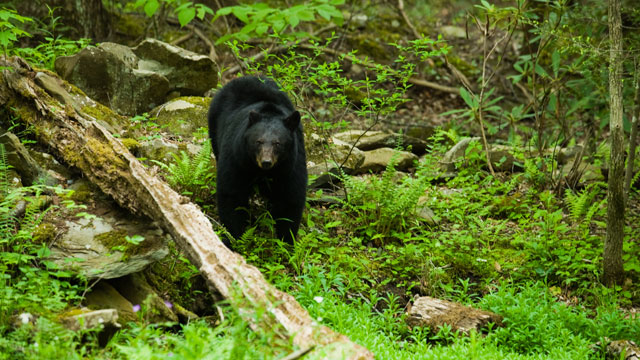 PHOTO: A black bear roams the spring forest in this file photo.