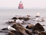PHOTO:  Seagulls perch on rocks in front of lighthouse at Sandy Pointe State Park, Chesapeake Bay, Maryland.